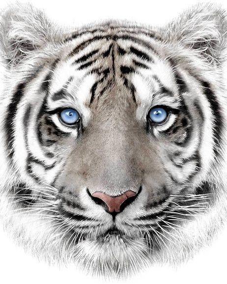 Takaró mikro kiskutya Fehér tigris